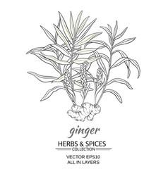 ginger vector image
