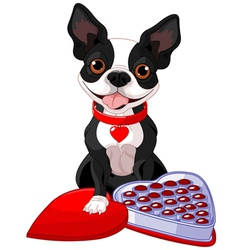 Valentine day Boston terrier vector image vector image