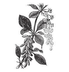 Barberry vintage engraving vector image vector image