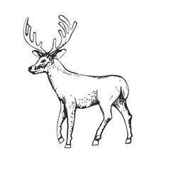 Deer engraving style vintage hand vector
