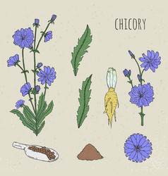Chicory medical botanical isolated vector
