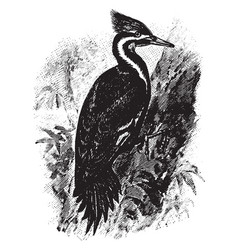 Pilated woodpecker vintage vector