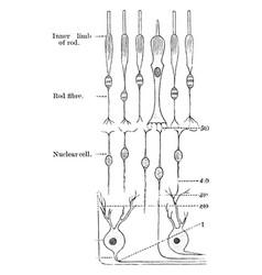 Nervous elements of the retina vintage vector