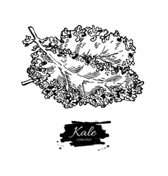 Kale hand drawn vegetable engraved style vector