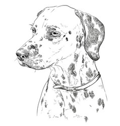 hand drawing portrait of dalmatian vector image vector image