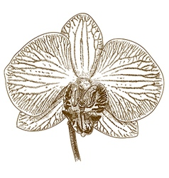 Engraving orchid flower vector