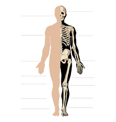 Body and skeleton male vector