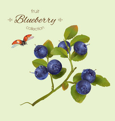 Realistic of blueberry vector