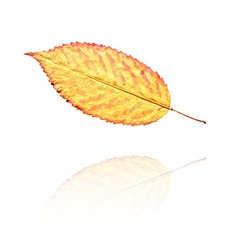 Dry leaf vector