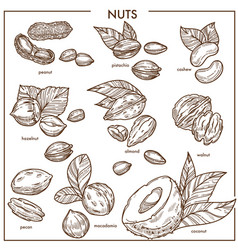 nuts sketch icons set organic raw food vector image