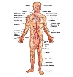 Arteries of the human body vector