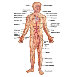 Arteries of the Human Body vector image vector image
