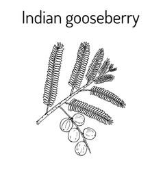 indian gooseberry phyllanthus emblica or emblic vector image