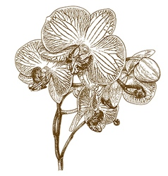 engraving orchid vector image