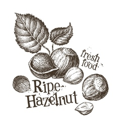 hazelnut logo design template fresh walnut vector image vector image