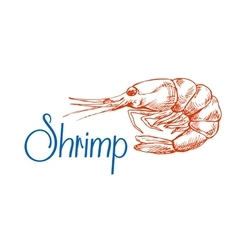 Sketch of red marine shrimp or prawn vector image