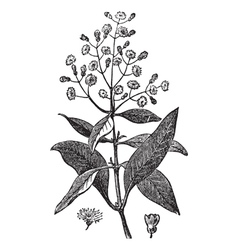 Allspice vintage engraving vector image vector image