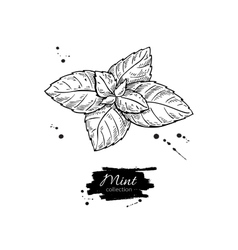 Mint drawing isolated mint plant and vector