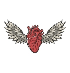 Anatomical heart with wings vector