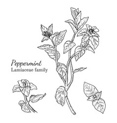 Ink peppermint hand drawn sketch vector