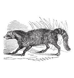 Civet vintage engraving vector image