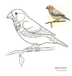 Zebra finch bird coloring book vector