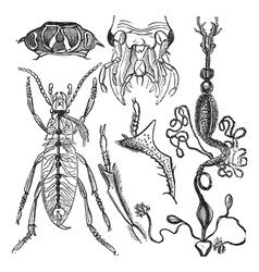 Coleopteres vintage engraving vector