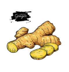ginger root hand drawn  roo vector image