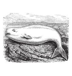 Beluga Whale vintage engraving vector image