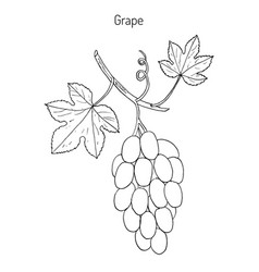 common grape vine vector image