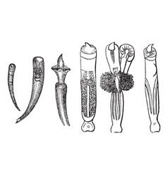 Tusk Shells vintage engraved vector image vector image