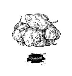 Spinach leaves hand drawn vector
