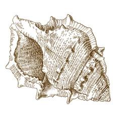 Engraving spiral seashell vector