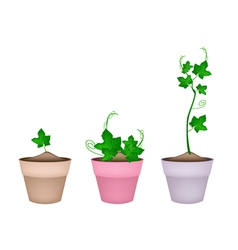 Green chayote plants in ceramic flower pots vector