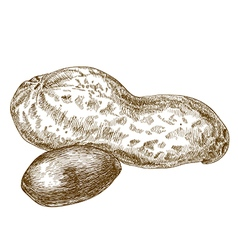 engraving peanuts pod vector image