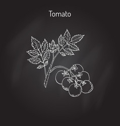 Tomato branch with fruits vector