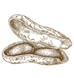 Engraving shelled peanuts pod vector