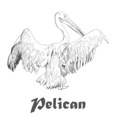 Hand drawn sketch of pelican with spread wings vector image