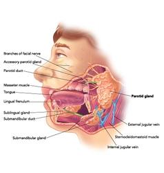 Parotid gland vector image