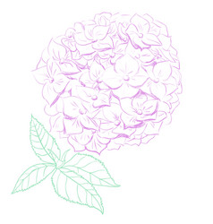 Hydrangea in hand drawing vector