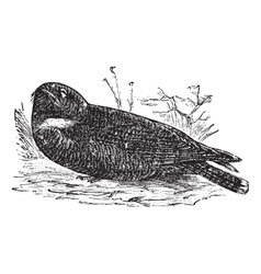 Spotted nightjar vintage engraving vector