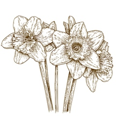 Engraving narcissus vector