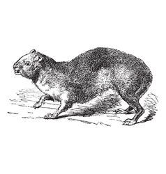 Rock hyrax vintage engraving vector