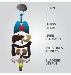 Color internal human body organs eps10 vector