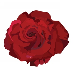 Delicate red rose isolated vector