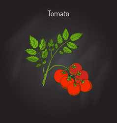 tomato branch with fruits vector image vector image