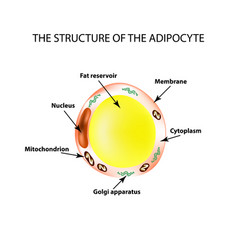 The anatomical structure of the fat cells vector