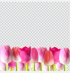 beautiful pink realistic tulip on transparent vector image