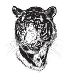 sketch of a tigers face vector image