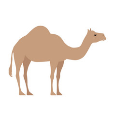 camel isolated on white even toed ungulate vector image vector image